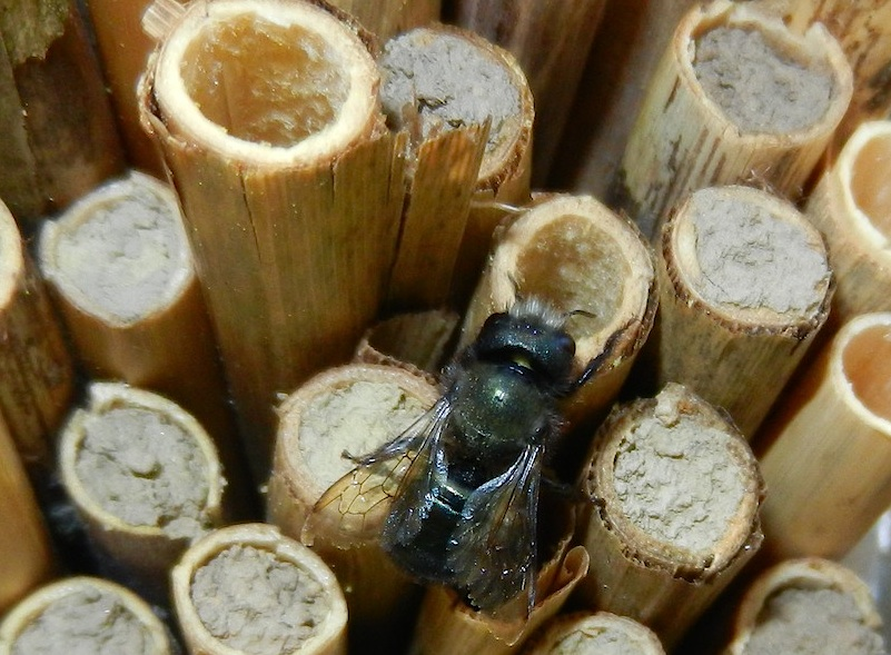 By early May many of the tubes are full and capped with mud. Here a female mason bee searches for the last hole she has been filling to deposit eggs or mud