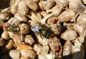 Freshly emerged mason bee
