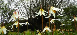 The fawn lilies , Erythronium sp. are in bloom now so they can benefit from the pollination by the mason bees also.