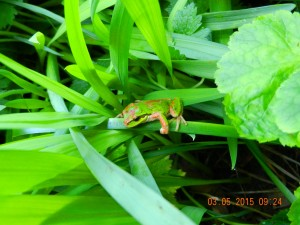 Pacific chorus frog or pacific tree frog, (Hyla regilla)in a flower bed near our house.
