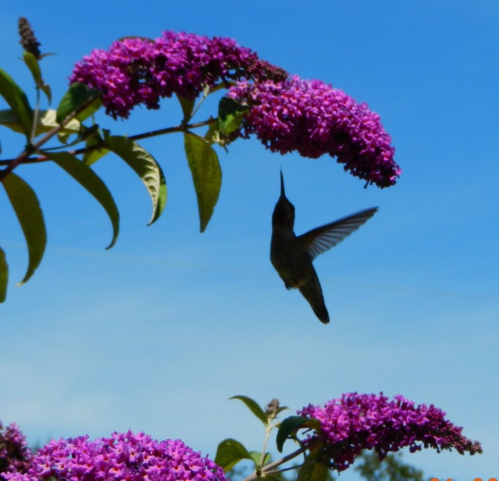 hummingbirdsilou