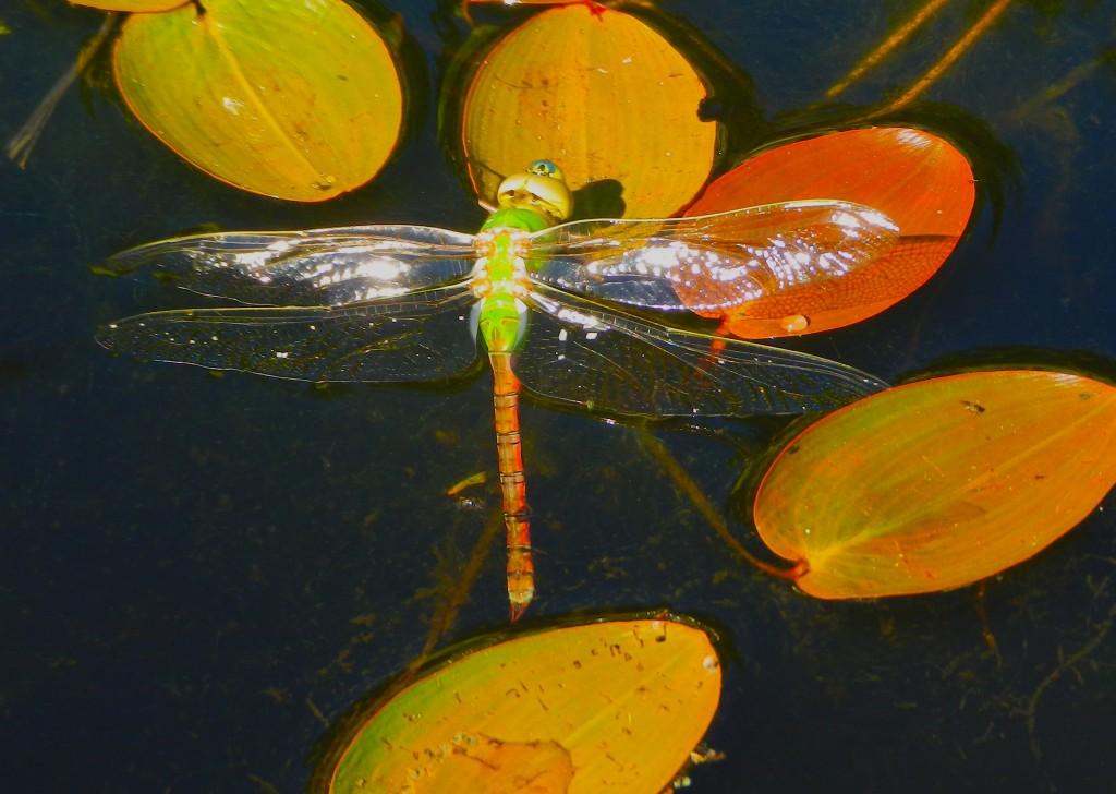 greendragfly