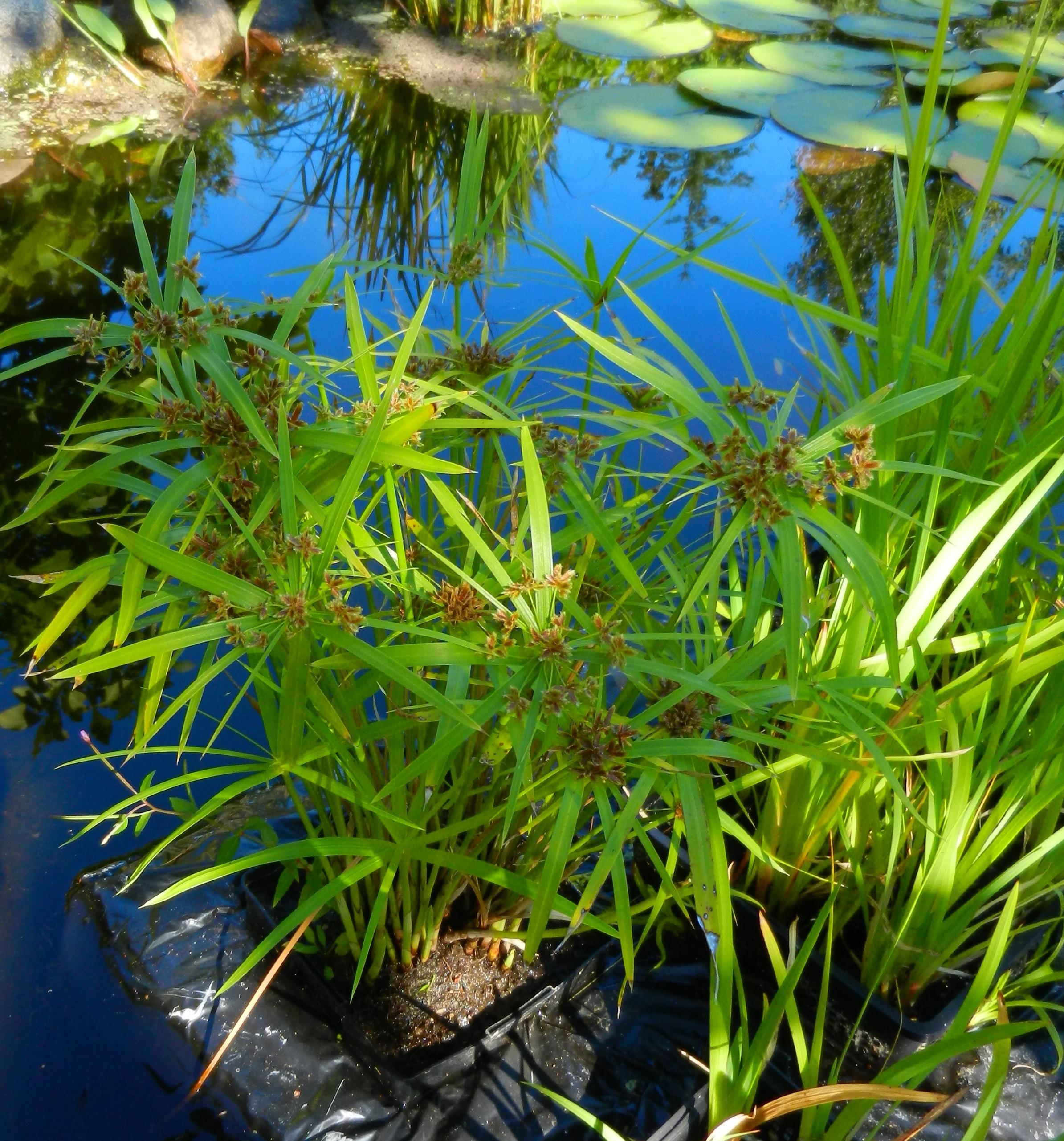 Pond plants g fletcher observations for Winter pond plants
