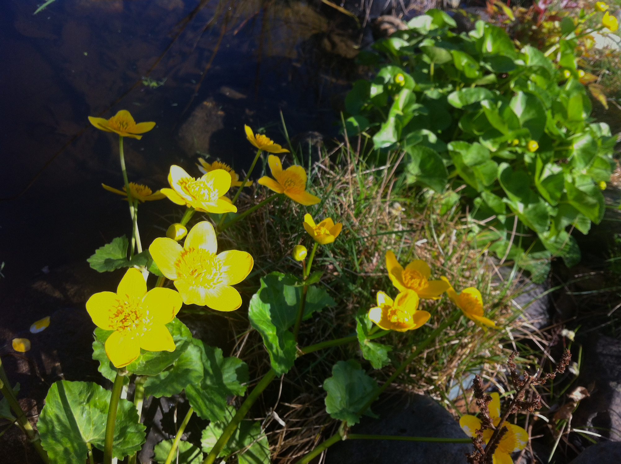 Marsh marigolds, the first pond plants to bloom, will seed themselves if well pollinated.