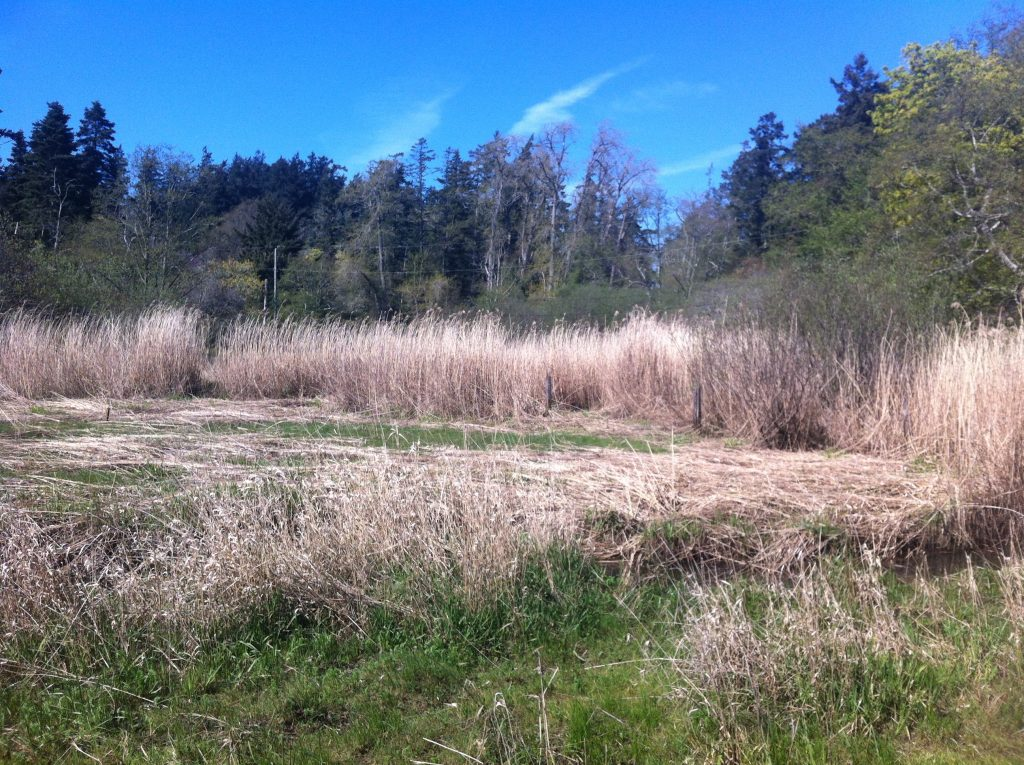 Phragmites in estuary/marsh