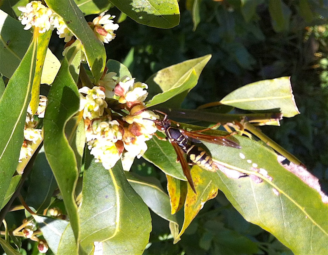 Polistes dominula, the European wasp which have become abundant in recent years.