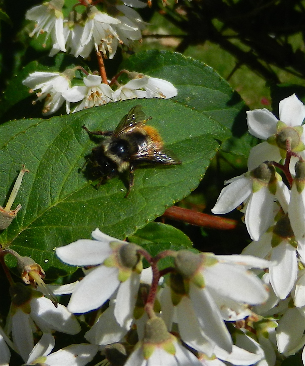 Today the bees preferred the shrub Deutzia gracilis