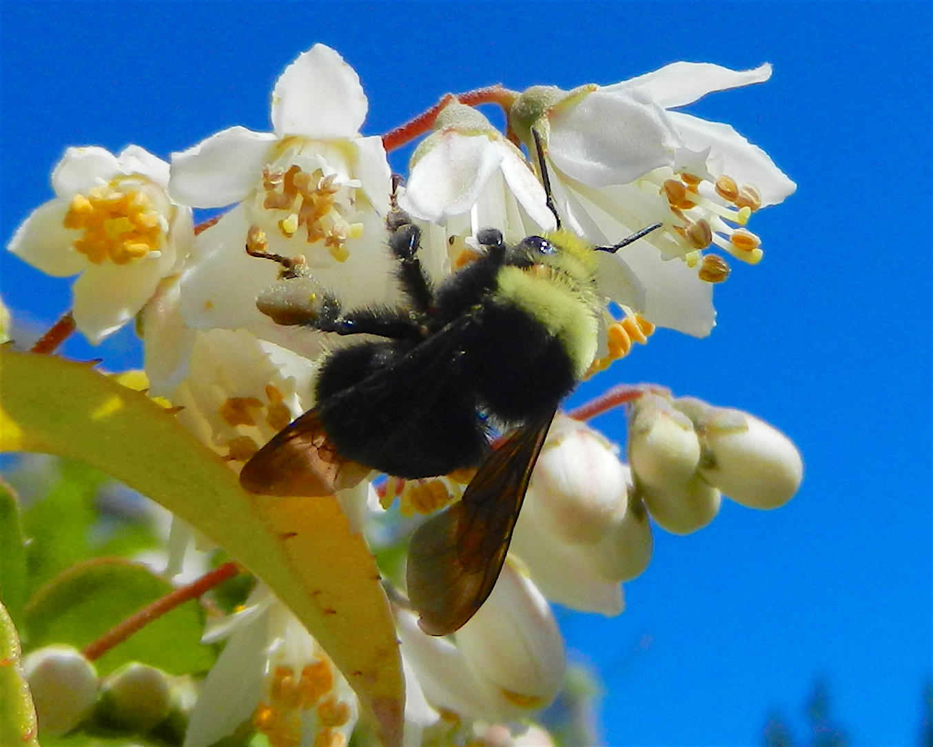 Bombus calignosus??Bee on Deutzia gracilis