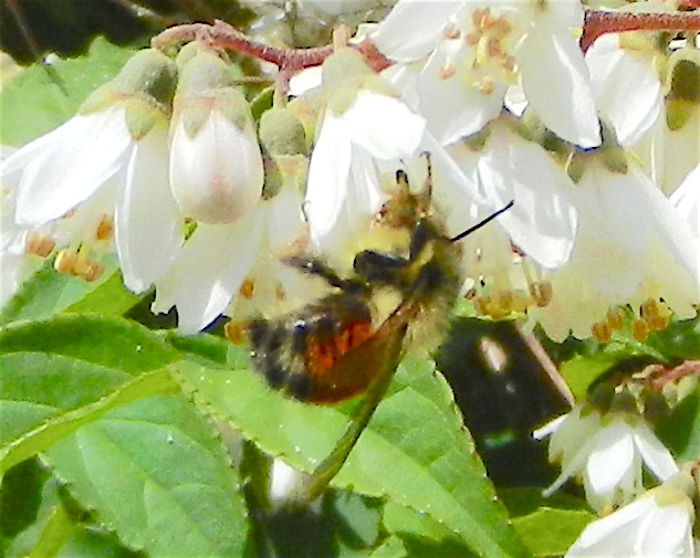 Note differing location of colour bands on these bumblebees.