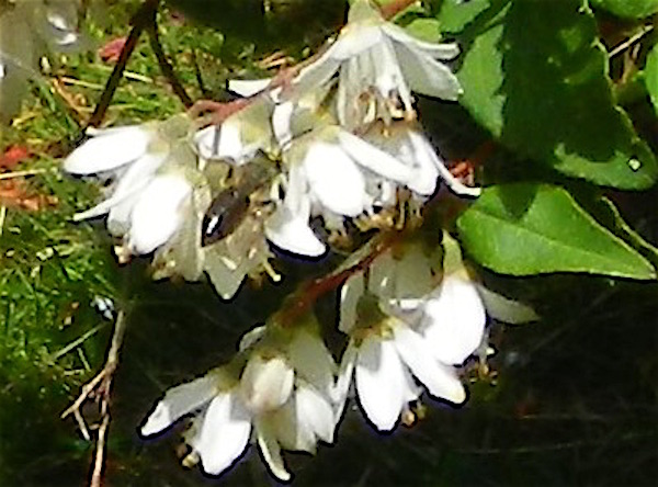 An unidentified bee on Deutzia