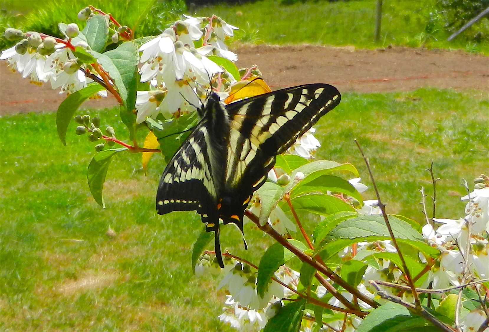 Tiger Swallowtail on Deutzia gracilis