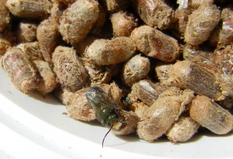Mason Bees For Sale Spring 2017